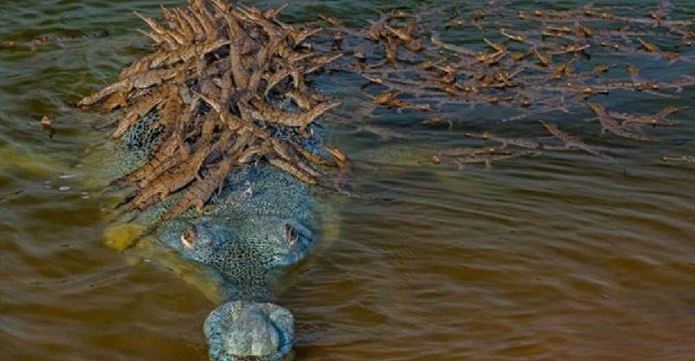 Papá cocodrilo carga a cientos de sus crías sobre la espalda para mantenerlos a salvo