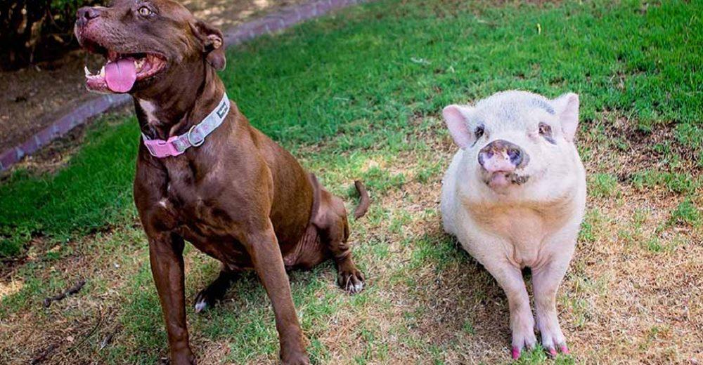 Cerdita y pitbull cumplen su sueño de ser adoptadas juntas tras el dolor de perder a su dueño