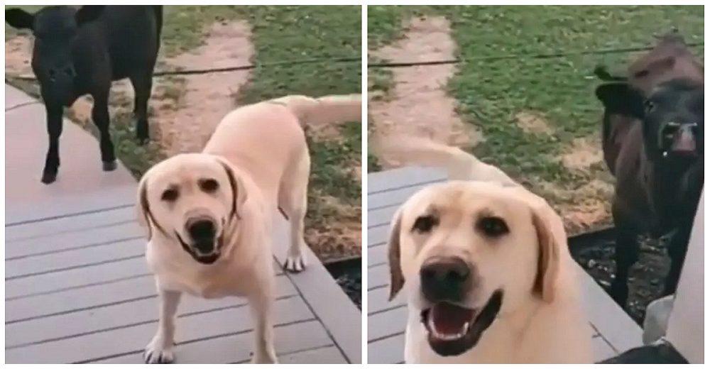 Perrito regresa a casa con su nueva amiga vaquita pidiendo que la dejen entrar