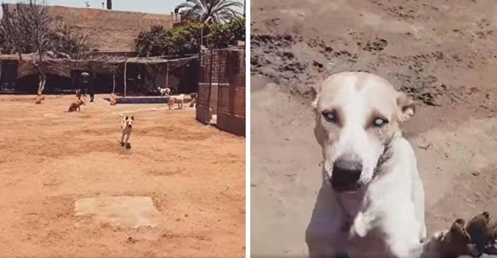 Perro ciego de un refugio corre emocionado cuando reconoce la voz del hombre que lo salvó