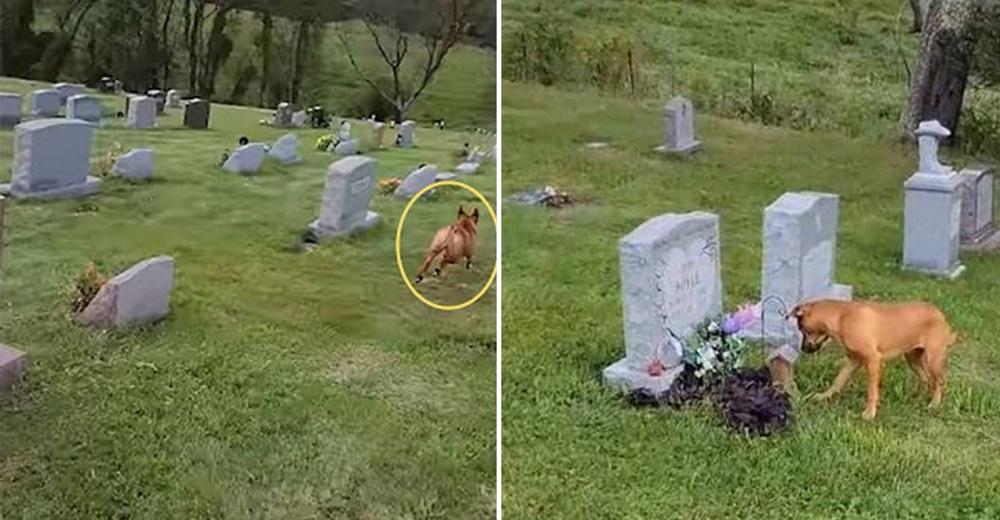 Perro entra al cementerio y corre emocionado al reconocer la lápida de su amada abuelita