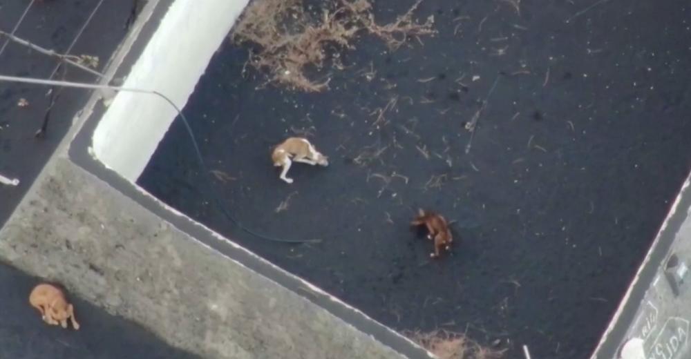 Desaparecen los 4 perros atrapados en la lava que esperaban ser rescatados en el estanque