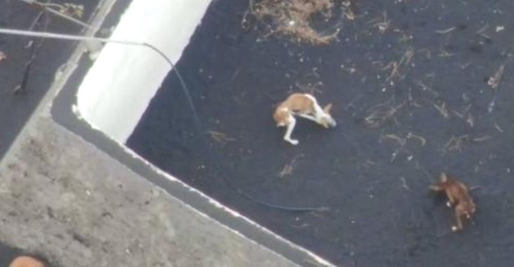 En un rescate contrarreloj salvarán a los 4 perros atrapados en el volcán de La Palma