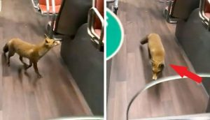 Un pequeño zorro decide tomar el autobús y viaja como un pasajero más